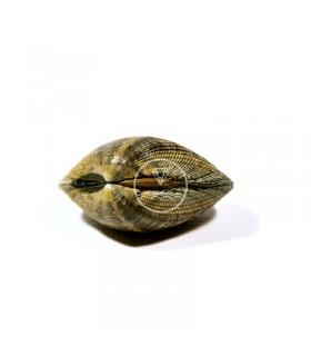 Almeja de Carril semicultivo comprar mariscos online